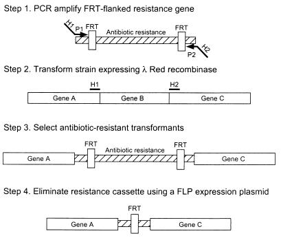 One-step inactivation of chromosomal genes in Escherichia coli K-12 using PCR products.